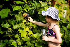 Girl picking grapes Royalty Free Stock Photography
