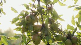 Girl picking green apples from the tree. The sun shines through the apple tree stock footage