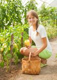 Girl picking  green pepper Royalty Free Stock Image