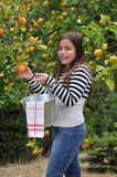 Girl picking oranges Royalty Free Stock Image