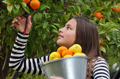 Girl picking oranges Royalty Free Stock Photos