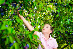 Girl picking plums from a tree Royalty Free Stock Photography