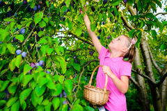 Girl picking plums from a tree Stock Photography