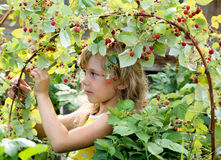 Girl picking raspberry. The girl of six years old picking berries of a raspberry in a garden. A warm summer sunny day Stock Image