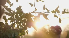 Girl picking red apple from the tree. The sun shines through the apple tree. Slow motion shot stock footage