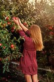 Girl is picking red apples in orchard. Girl in red dress is picking red apples in orchard Royalty Free Stock Photography