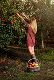 Girl is picking red apples in orchard. Girl in red dress is picking red apples in orchard Stock Photography
