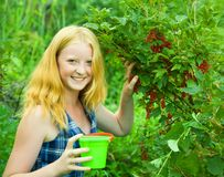 Girl  is picking red currant Stock Photos