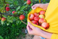 Girl picking red ripe summer apples. Teen girl picking and carrying red ripe summer apples in yellow t-shirt for sweet healthy snack while standing in garden on stock photography