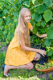 Girl picking ripe grapes in vineyard Royalty Free Stock Photography