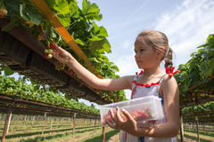 Girl picking strawberries Royalty Free Stock Image