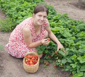 Girl picking strawberry in the field Stock Photo