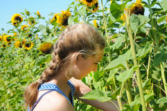 Girl picking sunflowers. Teenager girl picking sunflowers in a field Stock Photography