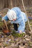 Girl is picking up bluebells. And is putting them into the basket in the spring forest Royalty Free Stock Image