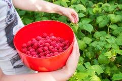 Girl picks raspberry in fruit garden Stock Photo