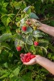Girl Picks Raspberry In Fruit Garden Into Bowl Stock Photo