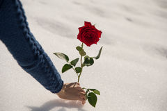 A girl picks up rose in the snow Royalty Free Stock Images