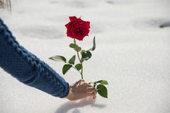 A girl picks up rose in the snow Stock Photos