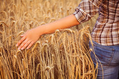 Girl in plaid shirt touching of ripe wheat ears. Close-up. Horizomtal. Unrecognisable person Royalty Free Stock Image
