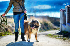 Girl playing with Caucasian shepherd dog, autumn. Young woman playing with Caucasian shepherd in a delightful spring day royalty free stock images