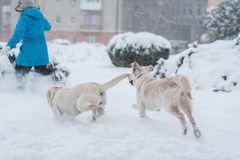 Girl playing with dogs Royalty Free Stock Photography