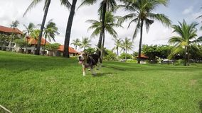 Girl playing with her beagle dog in summer park near the beach on tropical Bali island, Indonesia. Beagle run to the. Girl playing with her beagle dog in summer stock video footage