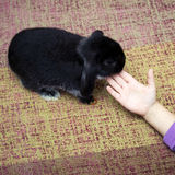Girl playing with rabbit Royalty Free Stock Images