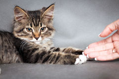 Girl plays with a kitten Royalty Free Stock Photos