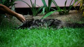 Girl plays with a lazy cat in the grass Royalty Free Stock Images