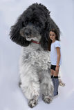 Girl and poodle Stock Images
