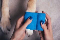 Girl putting bandage on injured dog paw royalty free stock photography