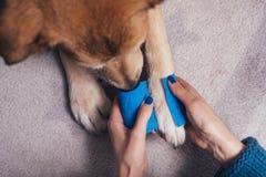 Girl putting bandage on injured dog paw stock photos