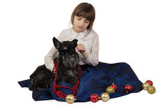 Girl putting Christmas decorations on a dog, Miniature Schnauzer stock photo