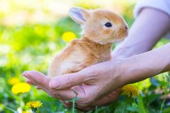 Girl and rabbit. On the lawn girl holds a small rabbit in the palms of her hand. Easter royalty free stock photo