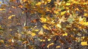 Girl rake tree leaves stock video