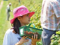Girl in Raspberry Field. Girl in pink straw hat picking up raspberries in the field Royalty Free Stock Photos
