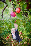Girl reaching for a branch with apples Royalty Free Stock Photography