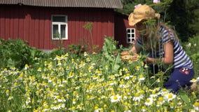 Girl reap small medicine camomile in summer garden near home. 4K stock video footage