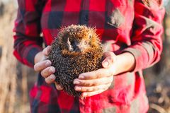 Girl in a red plaid shirt holding a hedgehog stock photo