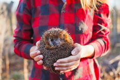 Girl in a red plaid shirt holding a hedgehog royalty free stock photography