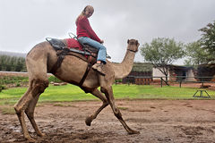 Girl rides a dancing camel Stock Image