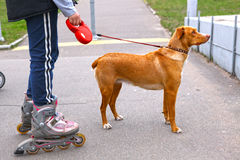 Girl rollerskating walking the dog in the park stock images