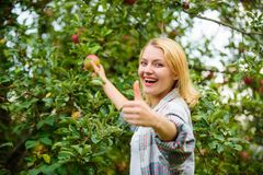 Girl rustic style gather apples harvest garden autumn day. Farmer picking ripe fruit from tree. Harvesting season. Concept. Woman hold apple garden background stock photos