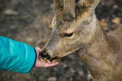 Girl`s hand feeding a young roe deer stock photography