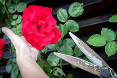 Girl's hand holding rose while cutting the flower with scissors Stock Photo