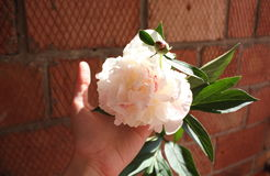 Girl's hand holding white peony on a brick wall background. Girl's hand holding white and pink peony on a brick wall background stock photography