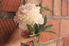 Girl's hand holding white peony on a brick wall background. Girl's hand holding white and pink peony on a brick wall background Royalty Free Stock Photography