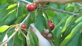 Girl`s hand picking cherry from tree stock footage