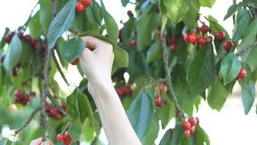Girl`s hand picking cherry from tree stock video footage
