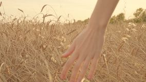 Women hand touching a wheat ears in a golden field at sunset in slow motion stock video